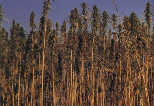 picture of cannabis crop