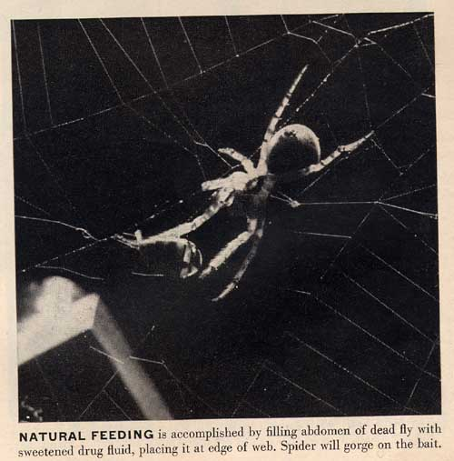 spider and drug-dosed fly