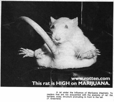 cannabis abuse : picture of a stoned rat
